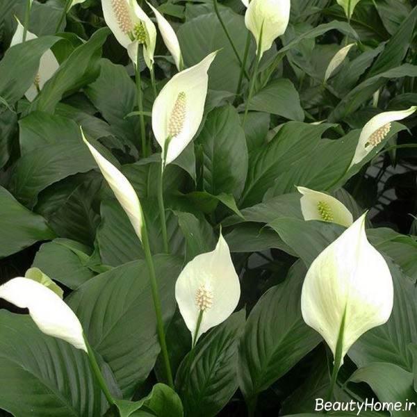اسپاتیفیلوم یا گل چمچه ای