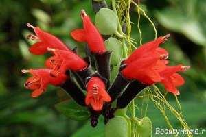 گیاه اسکینانتوس