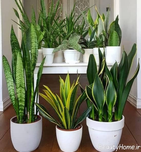 گیاهان آپارتمانی سایه دوست زیبا